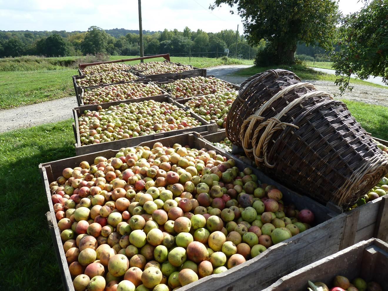 Ramassage de pommes pour les expositions association les - Machine pour ramasser les pommes ...