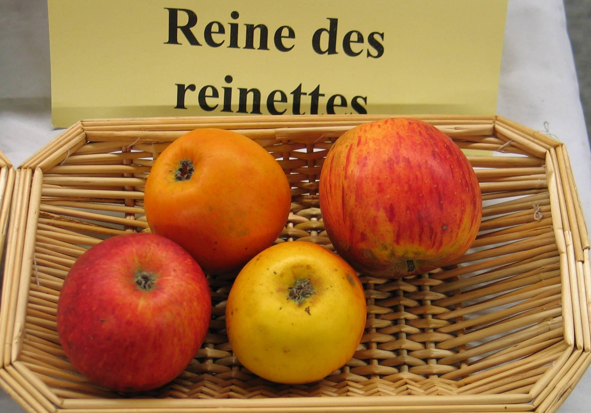 Pommes couteau de qu rina florina winter banana - Image de reine ...