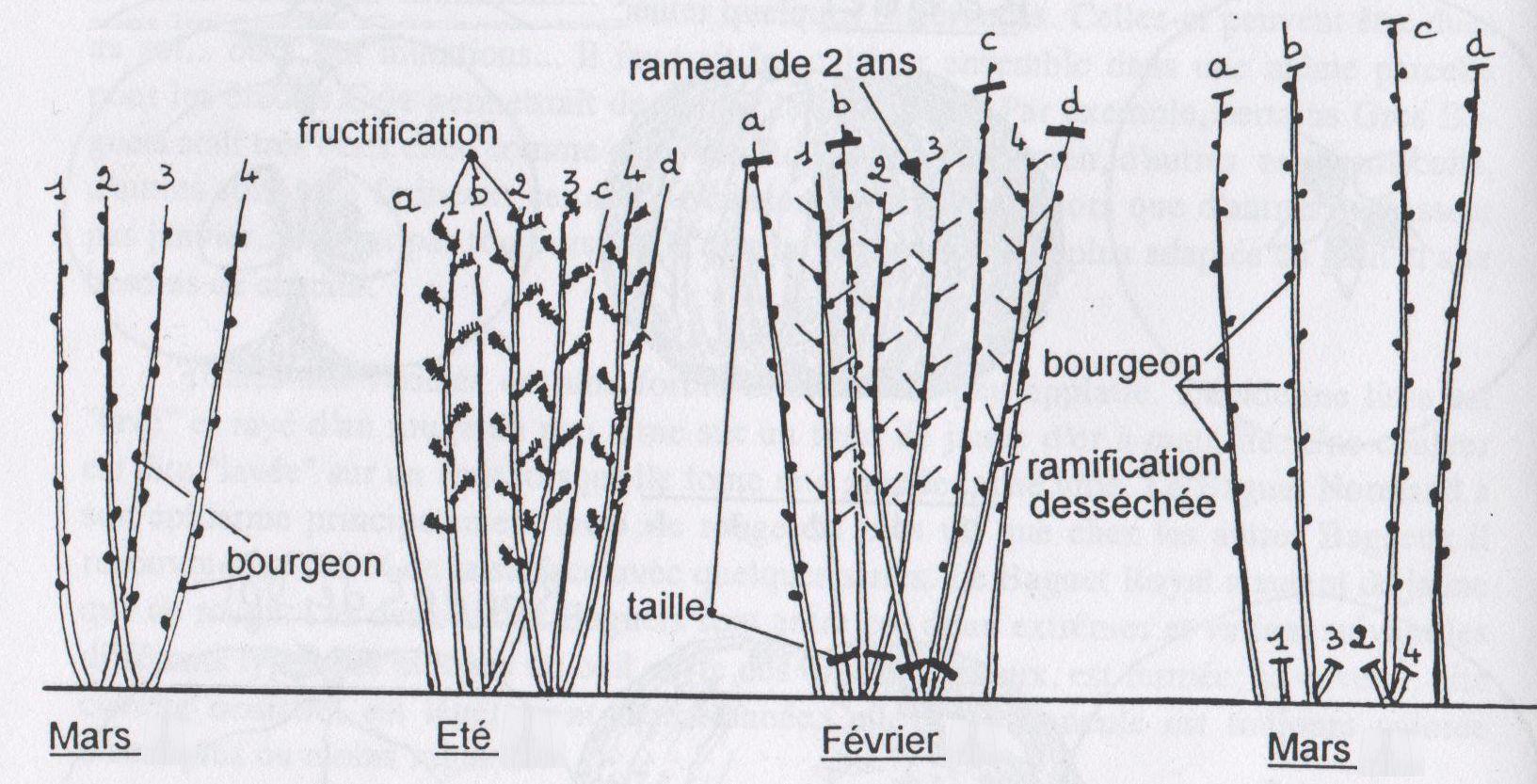 Taille des framboisiers association les mordus de la pomme - Taille des framboisiers non remontants ...