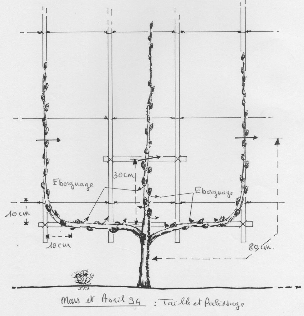 Arbres fruitiers en espalier arbre fruitier espalier sur enperdresonlapin - Comment tailler un pommier ...