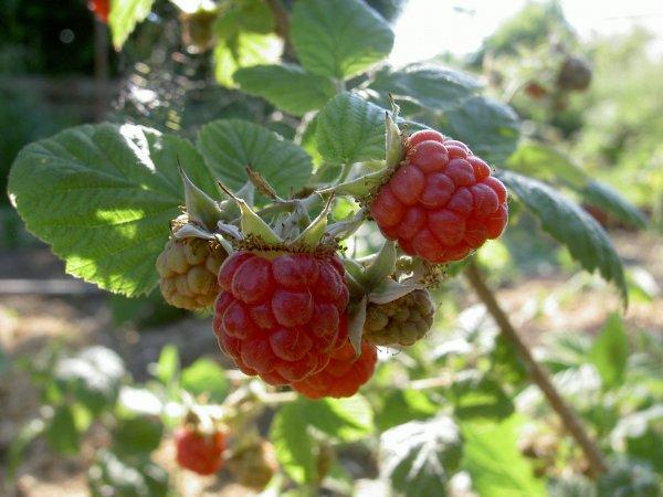 La Saison Des Petits Fruits Les Mordus De La Pomme